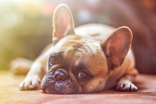 bulldog-1224267_640 (1)